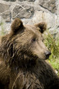 Free Wild Bear Cooling In Water Stock Image - 9948551