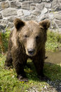 Free Wild Bear Cooling In Water Stock Photography - 9948592