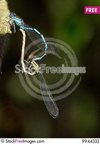 Free Matting Common Blue Damselfly Stock Photos - 9944333