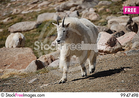 Rocky Mountain Goat Stock Photo