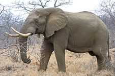 Free Elephant Bull Royalty Free Stock Image - 9940046