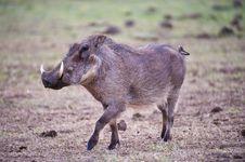 Free Warthog Stock Photos - 9940463