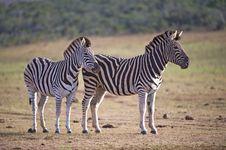 Zebra Pair Royalty Free Stock Photography