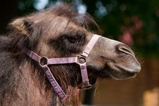 Free Camels Profile Royalty Free Stock Photo - 9941125