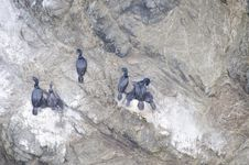 Free Cormorants Nesting On The California Coastline Stock Photo - 9942600