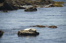 Free Sea Lion On The California Coastline Royalty Free Stock Photo - 9942625