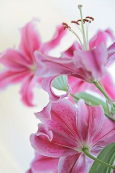 Free Lily N Close Up Stock Images - 9943504