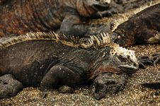 Free Marine Iguanas Royalty Free Stock Photo - 9943625