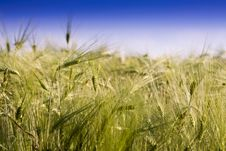 Free Green Spring Grains Royalty Free Stock Images - 9943709