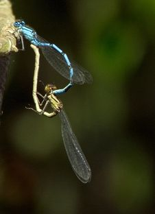Free Matting Common Blue Damselfly Stock Photos - 9944333