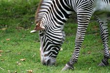 Free Zebra Stock Photos - 9945443