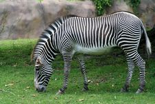 Free Zebra Royalty Free Stock Photo - 9945445
