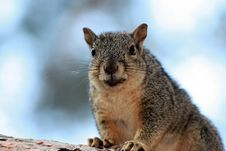 Free A Fat Smiling Squirrel Stock Image - 9945651