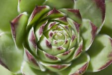 Succulent Royalty Free Stock Photo