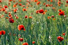 Free A Field Of Red Poppies. Royalty Free Stock Images - 9946039