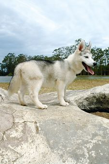 Husky Puppy 2 Royalty Free Stock Image