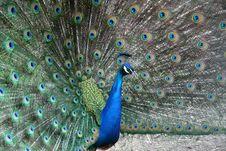 Free Peacock Royalty Free Stock Image - 9946096