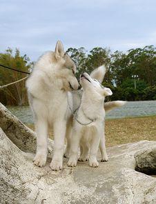 Two Huskies Royalty Free Stock Photos