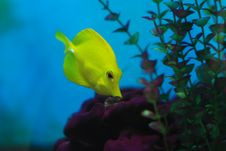 Free Little Yellow Croaker Royalty Free Stock Images - 9946209