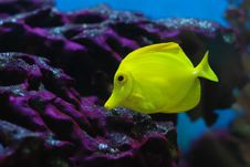 Free Little Yellow Croaker Royalty Free Stock Image - 9946446