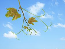 Free Grapevine  On Sky Background Stock Photos - 9947263