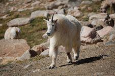 Rocky Mountain Goat Royalty Free Stock Photos