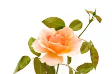 Free Peach Color Rose Isolated On White Stock Photo - 9947570