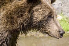 Wild Bear Cooling In Water Stock Images
