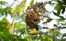 Free The Weaver Nest Royalty Free Stock Image - 9949256
