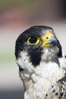 Peregrine Falcon Falco Peregrinus Stock Photography