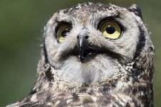 Spotted Eagle-owl Bubo Africanus Stock Photos