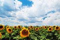 Free Sunflowers Field With Cloudy Sky Stock Photography - 9955052
