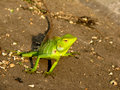 Free A Curious Chameleon Stock Photos - 9958213