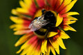 Free Big Bumblebee On Red Yellow Flower Royalty Free Stock Images - 9958809