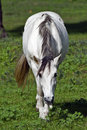 Free A White Horse Grazing In Clover Stock Image - 9959441