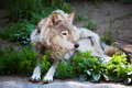Free Wolf Royalty Free Stock Photos - 9959518