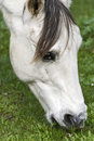 Free A White Horse Grazing In Clover Royalty Free Stock Image - 9959566