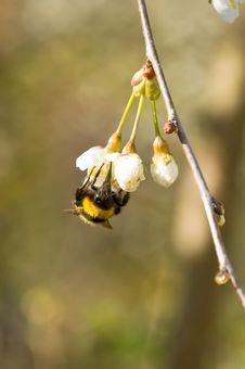 Free Bumblebee Royalty Free Stock Image - 9950106