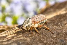 Free May-bug Royalty Free Stock Image - 9950136