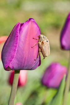 Free The Bug And A Tulip Stock Image - 9950171