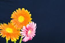 Free Orange Daisy Stock Image - 9950821