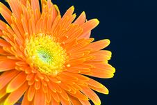 Free Orange Daisy Royalty Free Stock Photos - 9950828