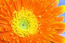 Free Orange Daisy Stock Image - 9950871