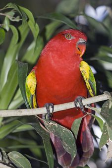 Free Red Parrot On A Green Branch Stock Image - 9951231