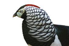 Free Pheasant Royalty Free Stock Photo - 9951615