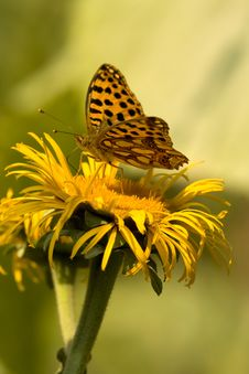 Free Butterfly Feeding On Yellow Flower Stock Photography - 9952062
