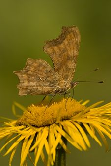 Free Butterfly Feeding On Yellow Flower Royalty Free Stock Image - 9952236