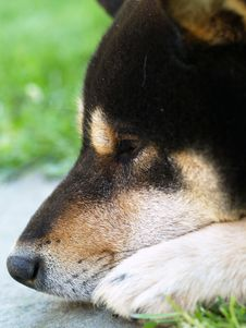 Free Shiba Inu Dog Royalty Free Stock Photography - 9952287