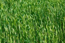 Free Green Ear Wheat Royalty Free Stock Photography - 9952397