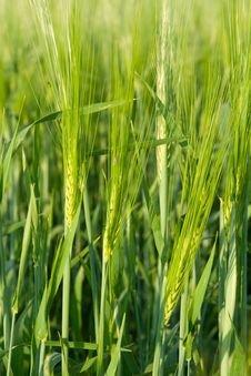 Free Green Ear Wheat Stock Image - 9952451